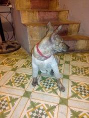 Vietnamese doggy
